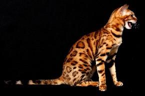 gatto Bengal