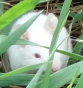 topolino bianco 1