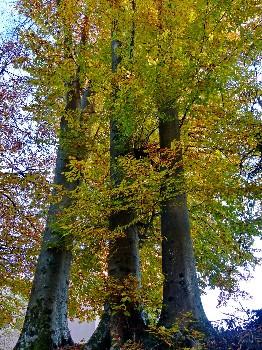 Faggi - Parco Mussoi (Belluno)